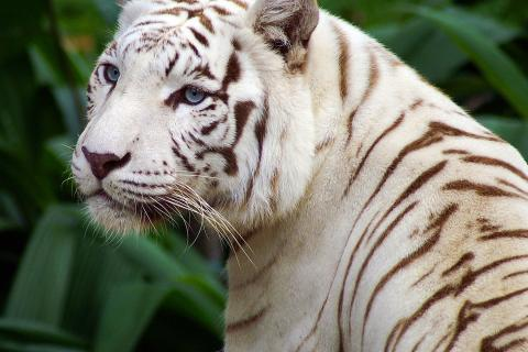 animals-tigers-white-tiger-1764576-480x320